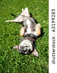 a chihuahua rollling in the grass - stock photo