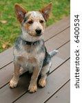 adorable blue heeler puppy - stock photo