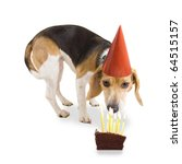 a beagle with a birthday hat on - stock photo