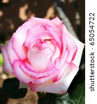 Pink rose close up picture. - stock photo
