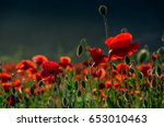 poppy flowers field. beautiful summer landscape at sunset - stock photo
