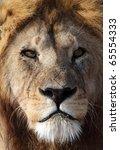 Wild male lion close-up, Serengeti National Park, Tanzania, East Africa - stock photo