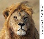 Large lion male, Serengeti National Park, Tanzania, East Africa - stock photo