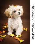 Teacup white poodle with fall background and coal black eyes and nose and apricot ears looking up. Orange and yellow autumn oak leaves surrounding her. Puppy expression. - stock photo