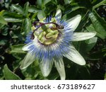Passion flower among green leaves - stock photo