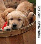 adorable golden retriever puppies in barrel - stock photo