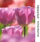 purple tulip - stock photo