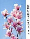 magnolia flowers on clear blue sky - stock photo