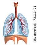 Lungs - pulmonary system. Isolated on white - stock photo