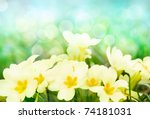 Fresh primrose flowers in the sunny meadow - stock photo