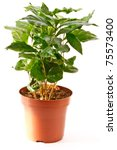 coffee tree in a pot is isolated on a white background - stock photo