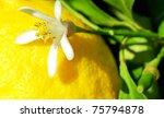 Yellow lemon and flower  on tree. - stock photo