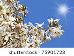 Flowering white magnolia on a background sun sky - stock photo