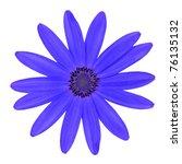Blue Osteosperumum Flower Daisy Isolated on White Background. Macro Closeup - stock photo