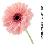 Pink gerbera isolated on white background - stock photo