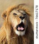 Lion male yawning, Serengeti National Park, Tanzania - stock photo