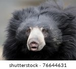 Sloth bear closeup portrait (Ursus ursinus) - stock photo