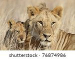 Lion cub with young male babysitter, Serengeti National Park, Tanzania, East Africa - stock photo