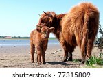 environment friendly nature management by wild Highland cattle - stock photo