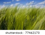 green wheat field and blue cloudy sky / summer / selective focus - stock photo
