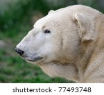 Polar bear profile - stock photo