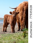 young Highland calf with mother - stock photo