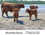 highland cattle with calf - stock photo