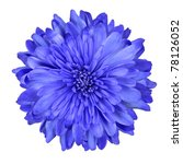 Single Deep Blue Chrysanthemum Flower Isolated over White Background. Beautiful Dahlia Flowerhead Macro - stock photo