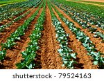 Rows of salad on an agricultural field - stock photo