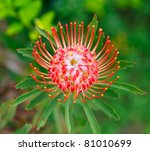 Orange pink pincushion protea flower in Maui - stock photo