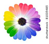 Multi colored Flower. Rainbow Daisy Flower. Multi Colored Petals of Isolated on White Background. Full Spectrum of Colors - stock photo