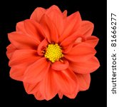 Perfect Orange Dahlia Flower Head with Yellow Center Isolated on Black Background - stock photo