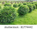 Green tea trees in the field - stock photo