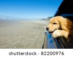 Golden Retriever puppy looking out the car window at the beach - stock photo