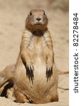 prairie dog looking at you - stock photo