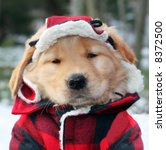 adorable golden retriever puppy in plaid hat and jacket - stock photo