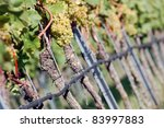 White grapes in the vineyard - stock photo