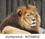 Male Lion (Panthera leo) resting but still alert to his surroundings - stock photo