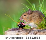 Fruit eating wild mouse on log side view - stock photo