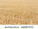 sunny illuminated full frame detail of a ripe grain field in Southern Germany at summer time - stock photo
