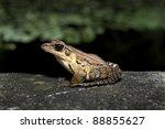 Latouche's Frog, Kuatun Frog (Rana latouchii) - stock photo