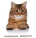 Cute young Siberian cat on white background - stock photo