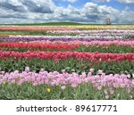 A Field Of Colorful Tulips Against A Blue Sky - stock photo