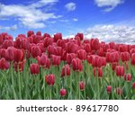 A Field Of Red Tulips Against A Blue Sky - stock photo