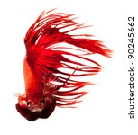 red dragon betta fish, siamese fighting fish isolated on white background - stock photo