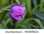 Purple tulip in garden after the rain - stock photo