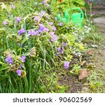 Flowerbed with the bush of spiderwort (Tradescantia virginian) and watering-can - stock photo