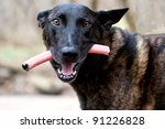 Dutch Shepherd K 9 with toy. Here is another one of Tommy the Dutch Shepherd K 9 Police Dog! His favorite toy is a piece of Hose. Do those eyes say Lets Play! - stock photo