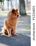 Chow Dog / Chow-Chow sitting on the walking path at the local park. Watching the park guests and other dogs as they go by. - stock photo