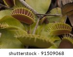Venus Fly Trap in the Wild - stock photo